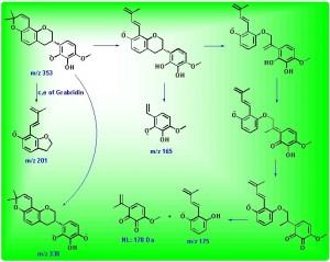 3'-羟基-4'-O-甲基光杆草定的正离子裂解途径